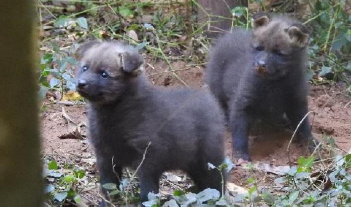 Em extinção, Logo Guará dá à luz no Zoológico de Bauru