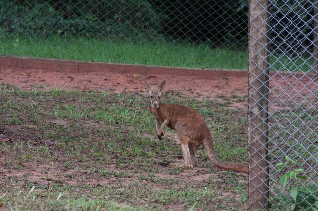 Cangurus são os novos moradores do Zoológico Municipal de Bauru
