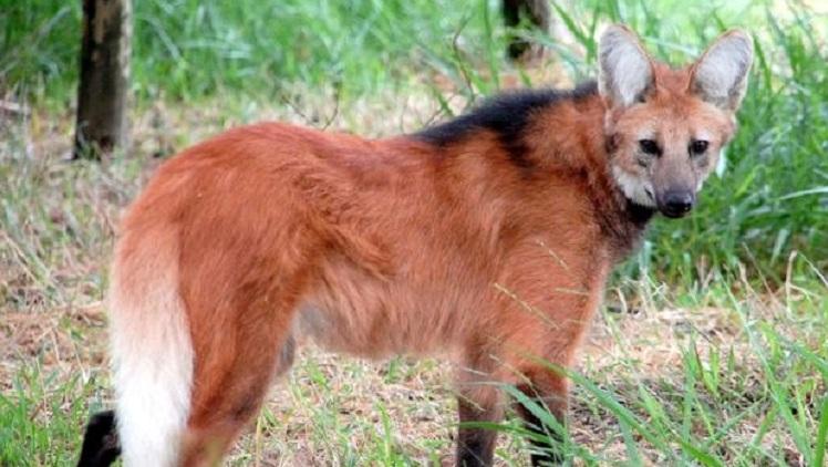 Filhote de Lobo Guará, animal em extinção, nasce no Zoológico de Bauru